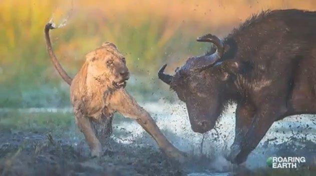 Video: Trâu rừng và những pha phản đòn dũng mãnh khiến sư tử khiếp sợ