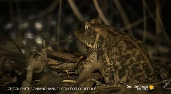 Video: Xót xa cho chú cóc siêu đen đủi, tránh được rắn hổ mang thì đụng ngay ếch lớn