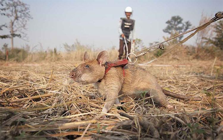 Voi sợ chuột, nhưng voi châu Phi lại đang được cứu nhờ chúng và đây là lý do