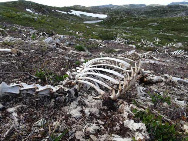 Vùng đất khiến hàng trăm con tuần lộc chết hàng loạt, khoa học để mặc chúng phân hủy và đây là những gì đã xảy ra