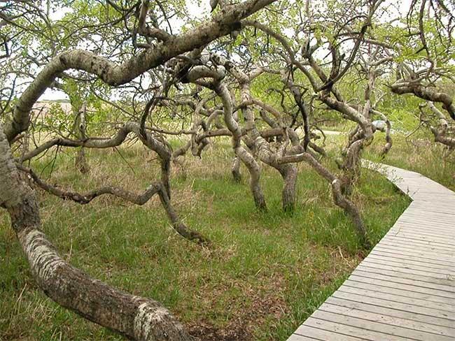 Vườn cây cổ thụ xoắn ốc kỳ quái thu hút du khách ở Canada