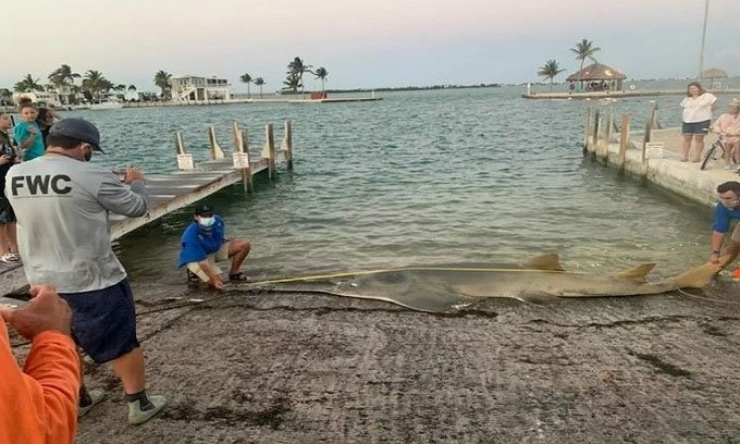 Xác cá kiếm lớn nhất thế giới dạt vào Florida
