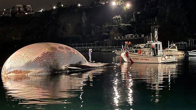 Xác cá voi khổng lồ dạt vào cảng biển
