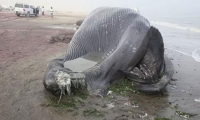 Xác cá voi xanh 18m dạt bị tàu biển đâm chết dạt vào bờ