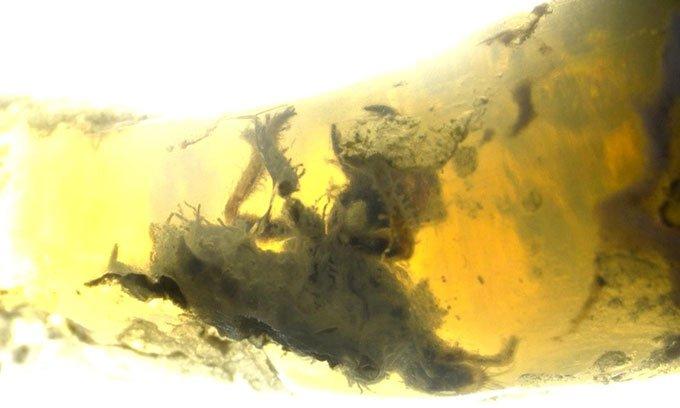 Xác ve sầu kẹt cứng hàng triệu năm trong ngọc mắt mèo