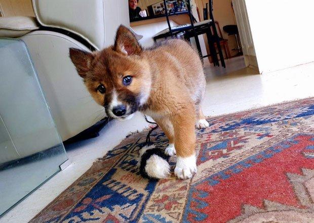 Xét nghiệm ADN cho chó hoang bỗng phát hiện ra loài thú hiếm có hàng đầu hành tinh