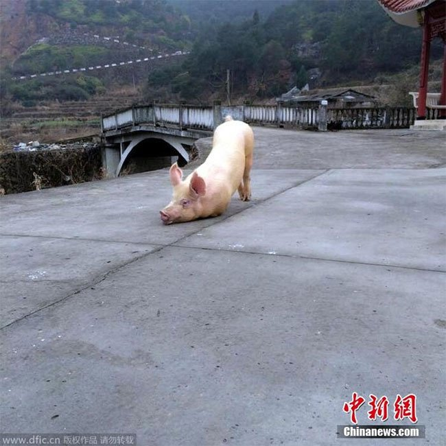 Xôn xao clip chú lợn quỳ gối hàng tiếng đồng hồ trước cửa chùa khi bị bắt tới lò mổ