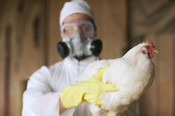 Xuất hiện dịch cúm gia cầm mới với tỷ lệ tử vong là 50%