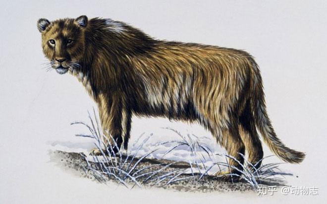 Yang's Tiger: Sư tử bản địa của Trung Quốc nhưng lại được gọi là hổ