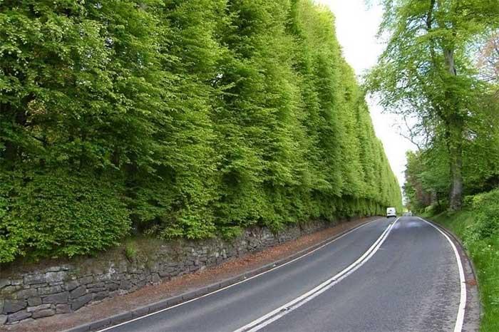 Độc đáo hàng rào bụi cây cao nhất thế giới
