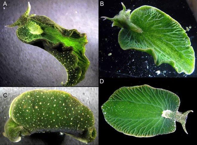 Loài động vật biển kỳ quái, chỉ cần phơi người ra nắng cũng có thể no căng bụng