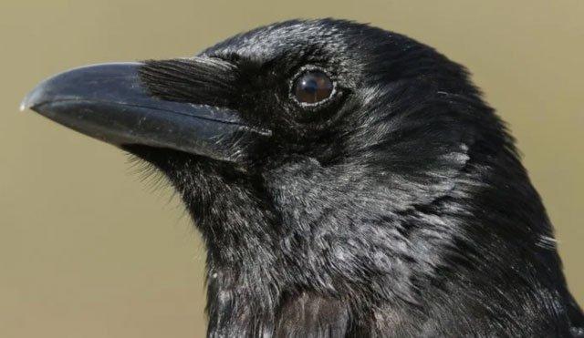 Loài quạ có khả năng suy nghĩ có ý thức như con người