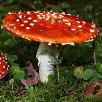 10 loại nấm độc nguy hiểm nhất thế giới