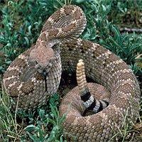 1500 năm trước, có người ăn sống cả rắn đuôi chuông, đi vệ sinh ra cả răng nanh rắn