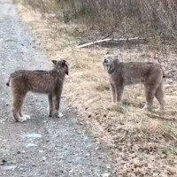 2 con linh miêu siêu hiếm kêu gây bão mạng xã hội nhưng bí mật phía sau là gì?