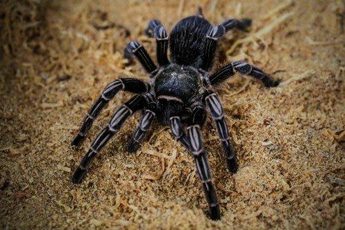 25.000 con nhện độc tràn vào thành phố nước Úc
