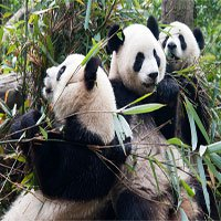 3 loài linh vật này của Trung Quốc sẽ biến mất vĩnh viễn nếu không có gì thay đổi