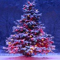 Những bí mật thú vị về cây thông Noel