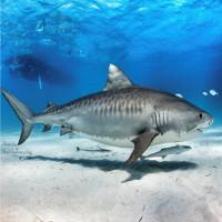 5 sự thật khó tin về cá mập hổ ít ai biết