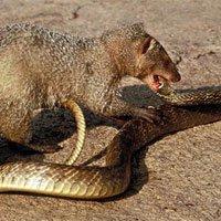 7 loài săn mồi ăn thịt rắn độc như...