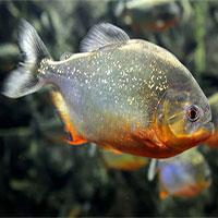 80% cá ở sông Amazon có nhựa trong dạ dày