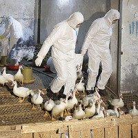 87 người Trung Quốc thiệt mạng vì cúm gia cầm H7N9