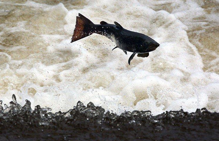 Ảnh đẹp: Cá hồi ngược dòng đẻ trứng