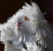 Ảnh đẹp: Chim bồ câu sư tử