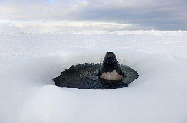 Ảnh đẹp: Hải cẩu ngoi lên mặt hố bằng tan