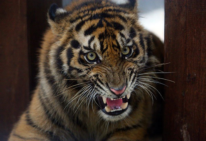 Ảnh đẹp: Hổ Sumatra nuôi trong nhà dân