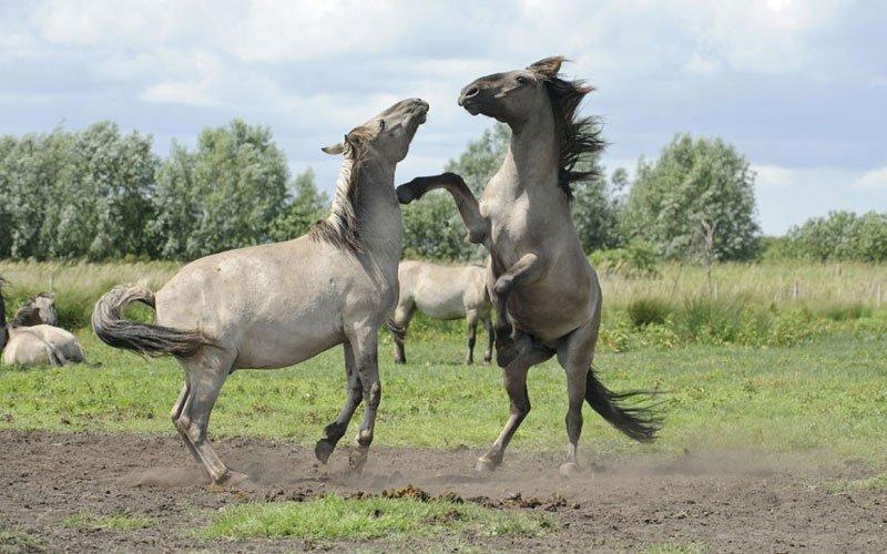 Ảnh đẹp: Ngựa hoang tranh hùng