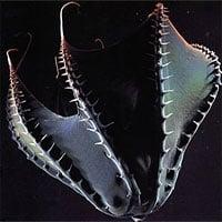 Bạn biết gì về Vampyroteuthis infernalis: Loài
