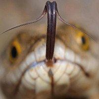 Bạn có biết chức năng của lưỡi rắn là gì không? Kết quả cực bất ngờ nhé!