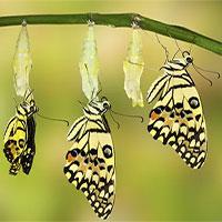 Bạn có thực sự biết cách một chú sâu hóa thành bướm?