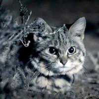 """Bạn có tin được đây là loài mèo """"nguy hiểm nhất thế giới""""?"""