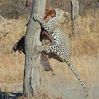Báo đốm cướp trắng bữa ăn của chó hoang bằng chiêu