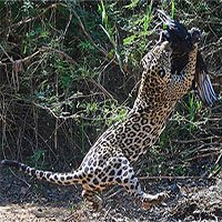 Báo đốm phi thân tóm gọn kền kền đen