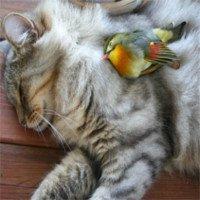 Báo động lây cúm gia cầm từ mèo sang người