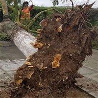 Bão Mun gây mưa lớn, nhiều cây xanh ở Hải Phòng bật gốc