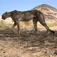 Báo săn Sahara lần đầu tiên được phát hiện trong một thập kỷ ở Algeria