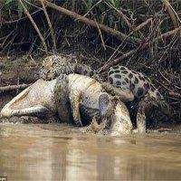 Báo xuống sông, cắn chết cá sấu