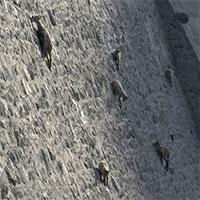 Bất chấp các vấn đề về trọng lực, loài động vật này vẫn có thể leo lên các bức tường thẳng đứng