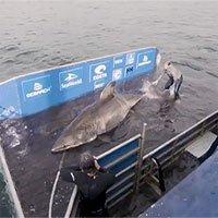Bắt được cá mập trắng hơn 50 tuổi nặng gần 1.600kg