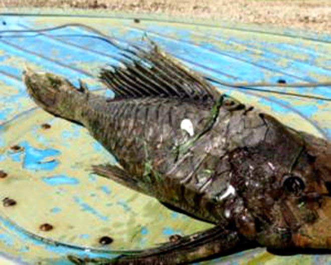 Bắt được cá quái vật đầu bò sát, vảy hóa thạch bí ẩn