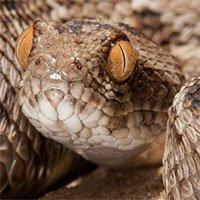 Bất ngờ phát hiện một loại thuốc sẵn có chữa được rắn cắn