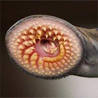 Bất ngờ với ấu trùng cá hóa thạch, gây về nhầm lẫn tổ tiên của động vật có xương sống