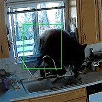 Bắt quả tang con gấu cao 2m, nặng 136kg lẩn nhà dân ăn trộm kẹo