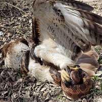 Bắt rắn thất bại, ưng đuôi lửa suýt bị con mồi siết chết