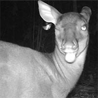 Bẫy ảnh chụp được những động vật quý hiếm nhất thế giới