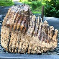 Bé trai 12 tuổi tìm thấy răng voi ma mút hóa thạch 10.000 năm